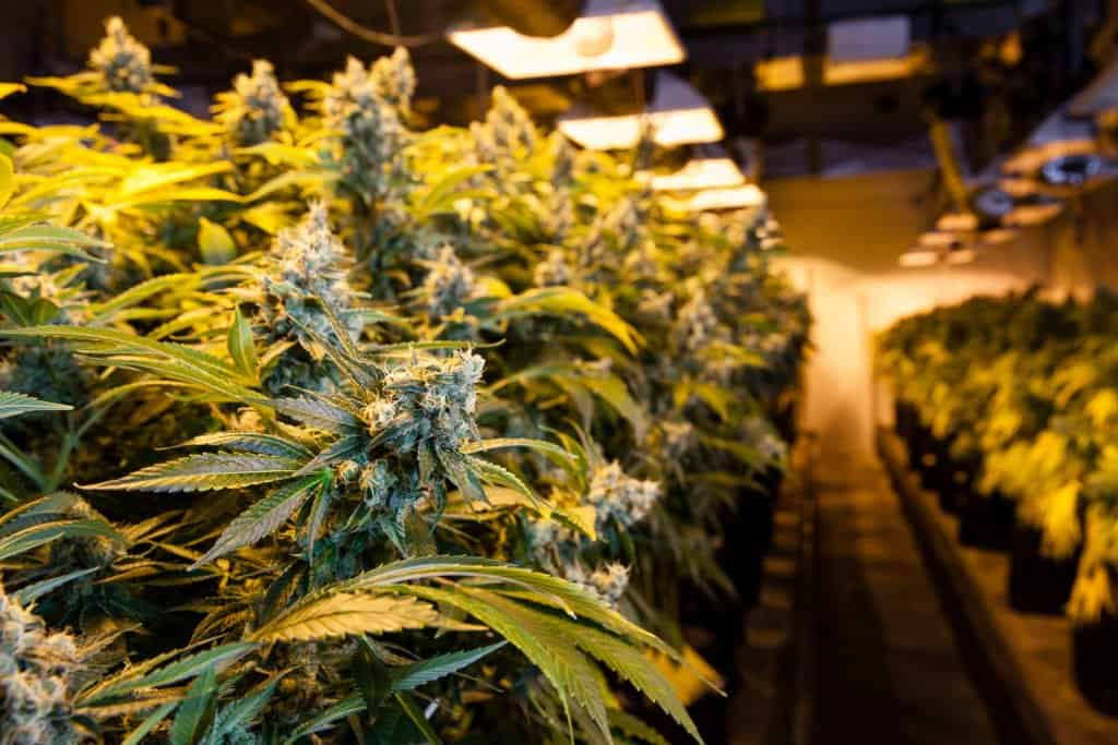 Using LEC Lights To Successfully Marijuana. Marijuana plants.