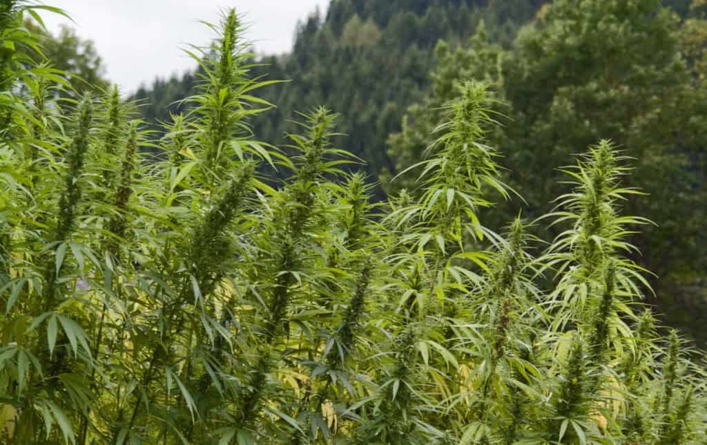 Important Considerations for Growing Hemp Professionally