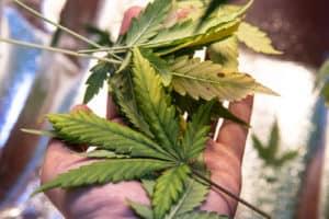 cannabis plant defoliation