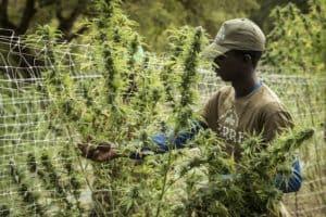 Sexing Marijuana Plants. Cannabis plant sexing.