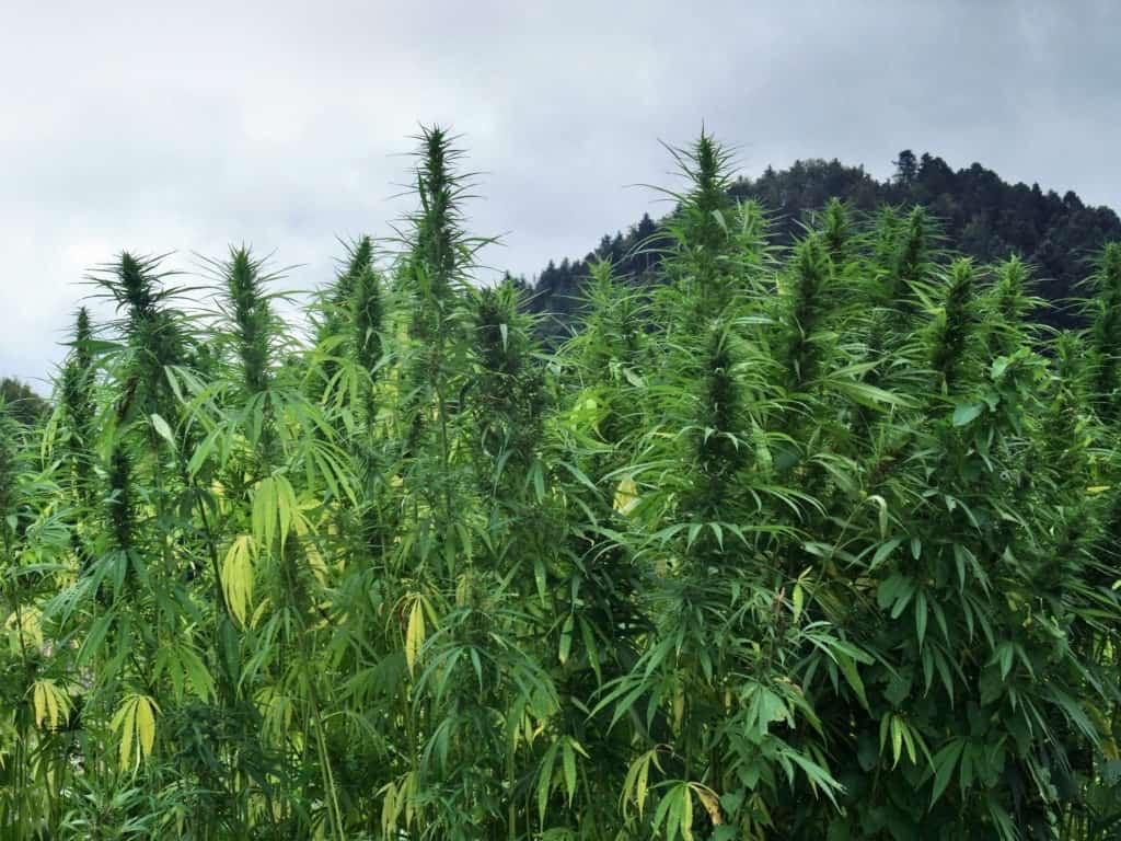 USDA Announces Hemp Guidelines