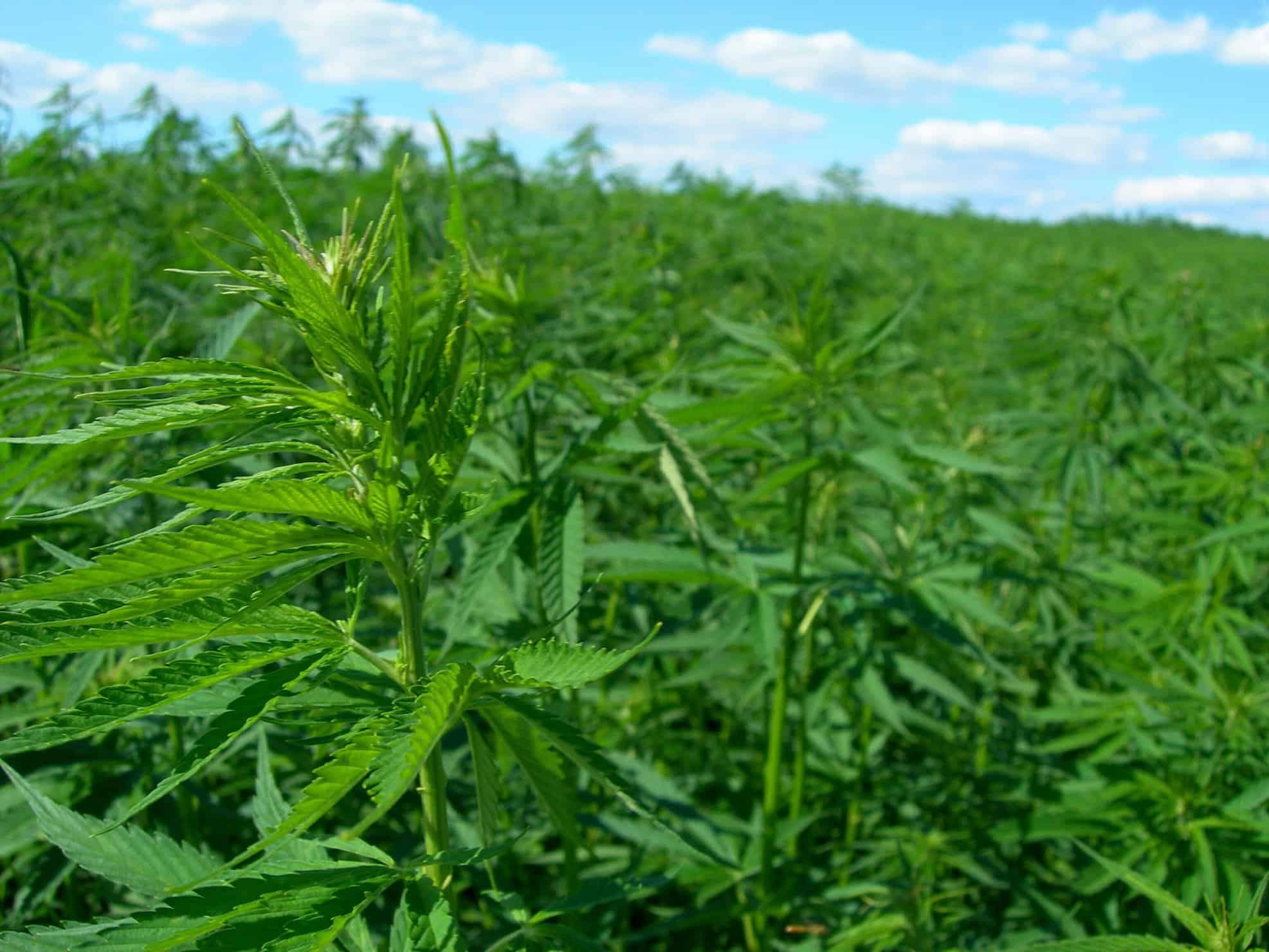 Brazil cannabis outdoors