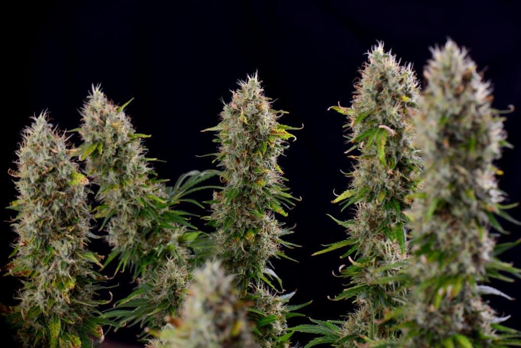 CBD-Rich Marijuana May Treat Multiple Symptoms of Autism