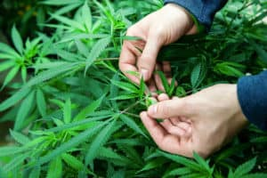 Cannabis in Florida: A Year In Review and Forecast for 2020. Marijuana leafs in hands