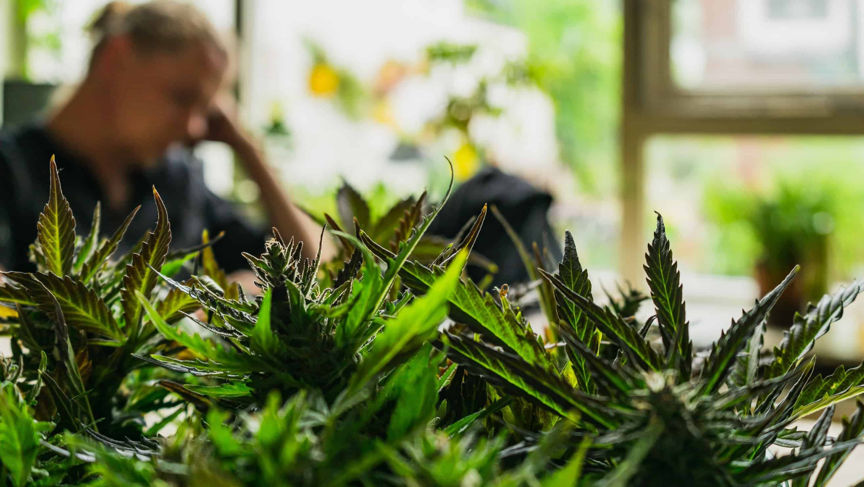 Minnesota marijuana. Minnesota cannabis stores. Minnesota cannabis laws.