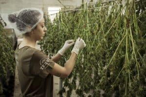 Marijuana Is The Fastest-Growing Job Market In America