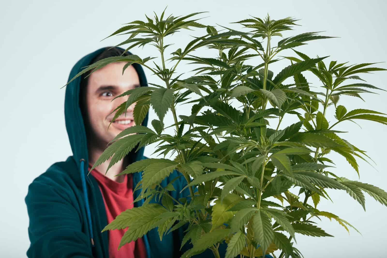 Marijuana Plant Growth Cycle Stages. Man happy with marijuana plant.