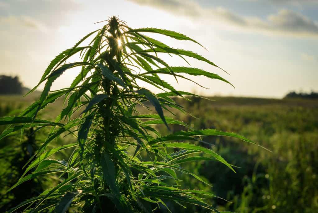 Elizabeth Warren released her plan to legalize marijuana. Cannabis leaf.