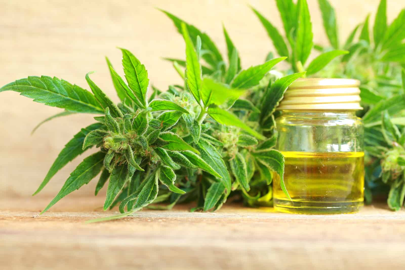 Striking Scan Shows Lung Cancer Tumor Shrinks With CBD. Marijuana plant with CBD oil