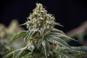 Gelato Marijuana Strain Information 2020