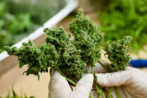 Illinois Marijuana Cannabis Jobs.Weed buds.