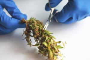 Missouri Marijuana Jobs Cannabis Careers