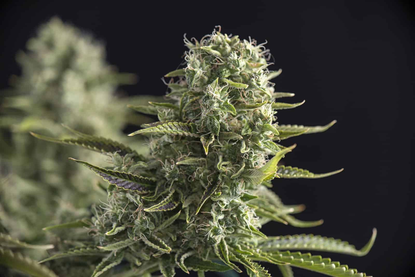 Sativa Strains Effects & Uses. Marijuana plant