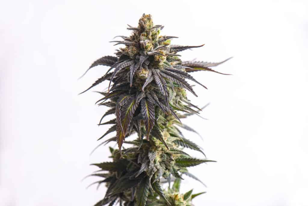 Cannabis plant isolated on white, wedding cake strain