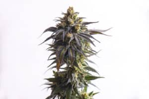 Wedding cake strain overview. Cannabis plant.