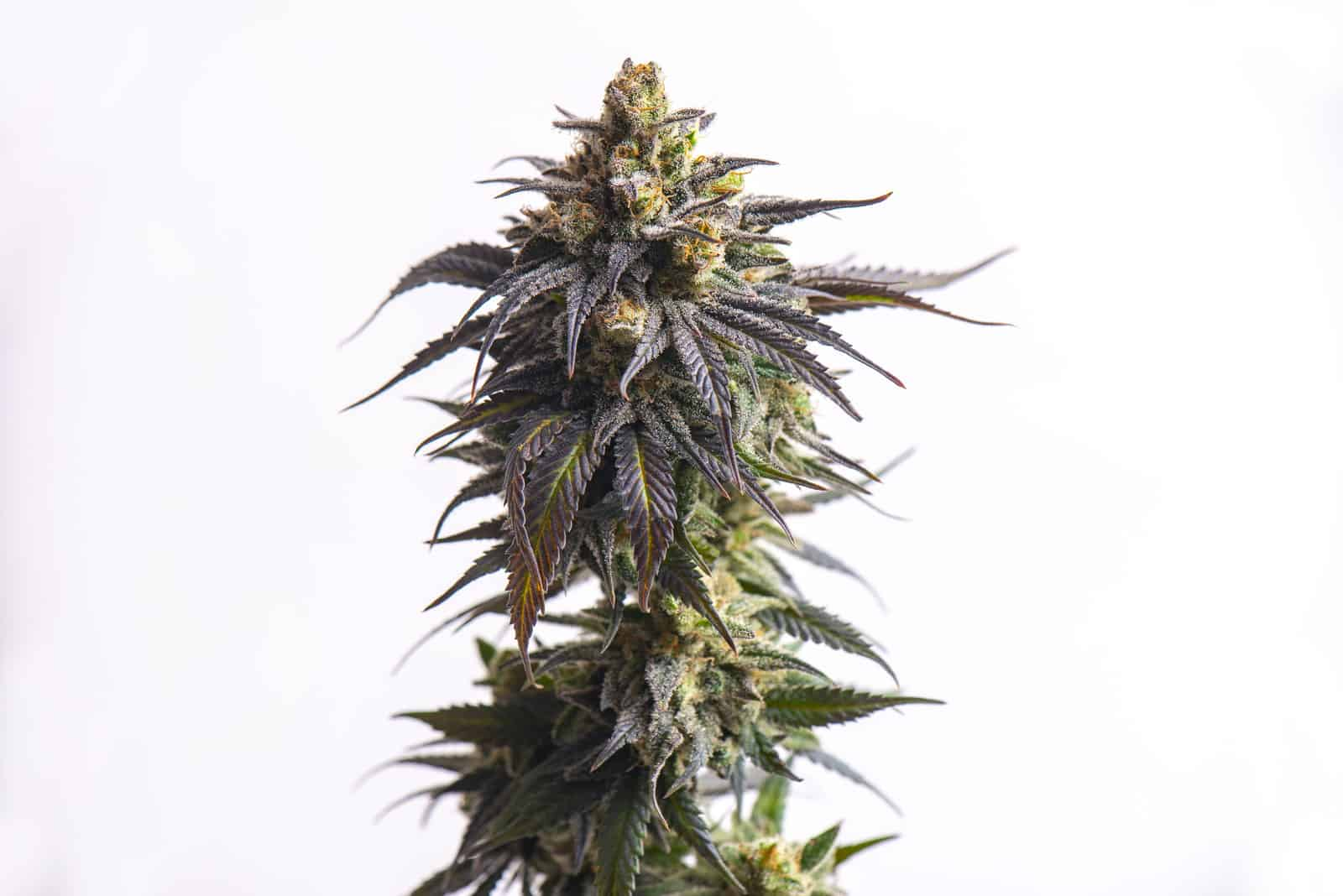 Wedding cake strain overview. Cannabis plant.