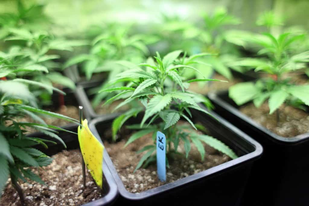 Growing marijuana. Cannabis seeds. Indoor marijuana growing
