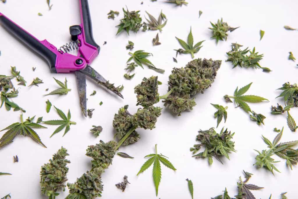 Alaska Marijuana Jobs and Marijuana Careers. Buds with a trimmer by them.