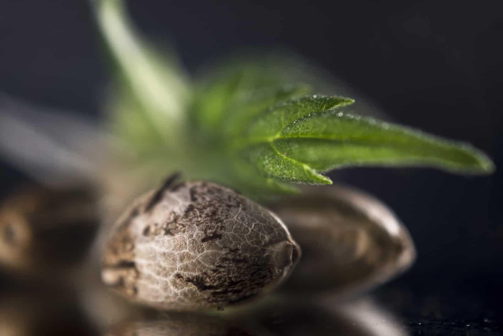 Best Marijuana Seeds For Outdoor Marijuana Growing