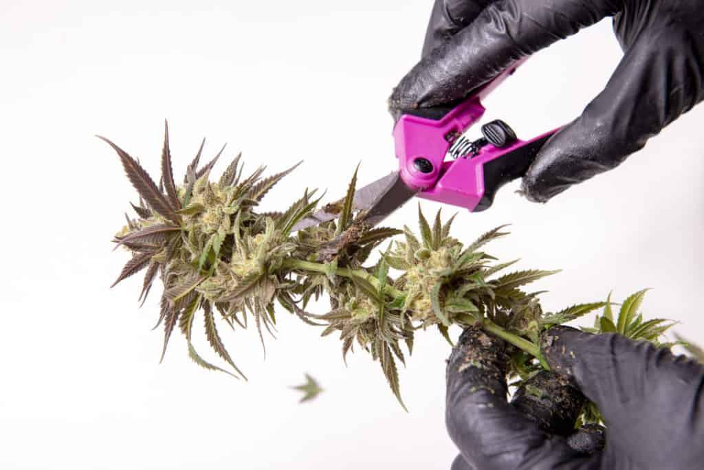 California Cannabis Jobs and Marijuana Careers. Gloved hand snipping buds.