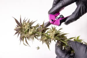 California Cannabis Jobs and Marijuana Careers. Gloved hand snipping buds.