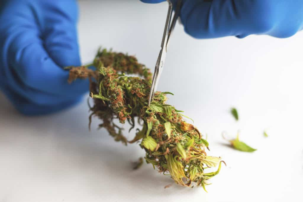 Cannabis Industry And Employment Booming During COVID-19 Shutdowns. Trimming a piece of bud.