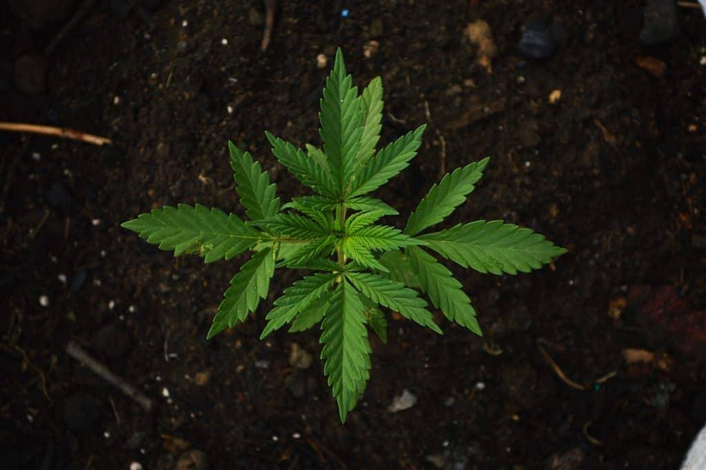 Best 10 THCV Strains. Marijuana plant in soil.