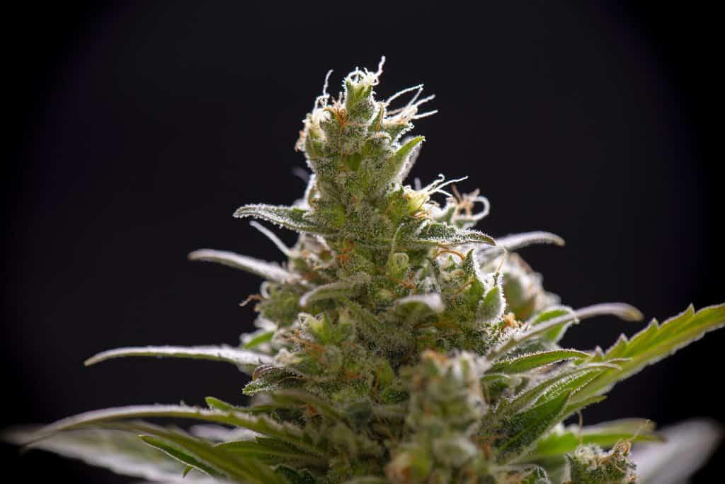 Headband Marijuana (A Potent OG Kush Hybrid). Closeup of a cannabis plant.