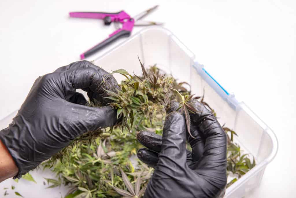 Hand with gloves trimming a fresh cannabis flower over white background, how much does a trimmer make