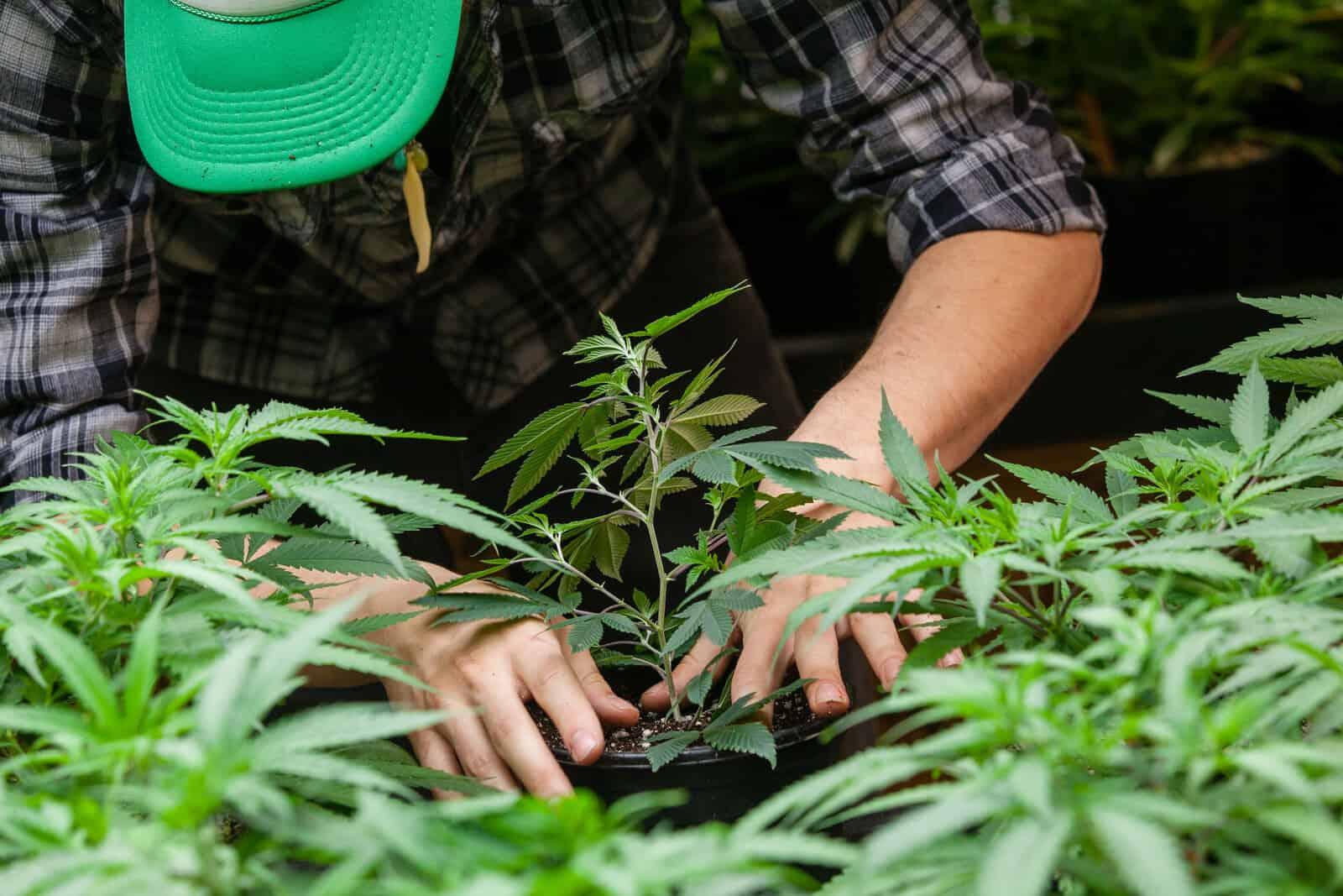 Best Cannabis Nutrients to Buy. Man planting marijuana.