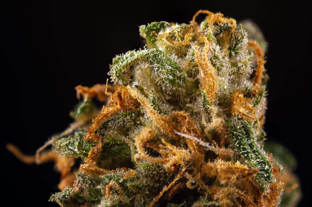 Harlequin strain guide. Closeup of marijuana plant.