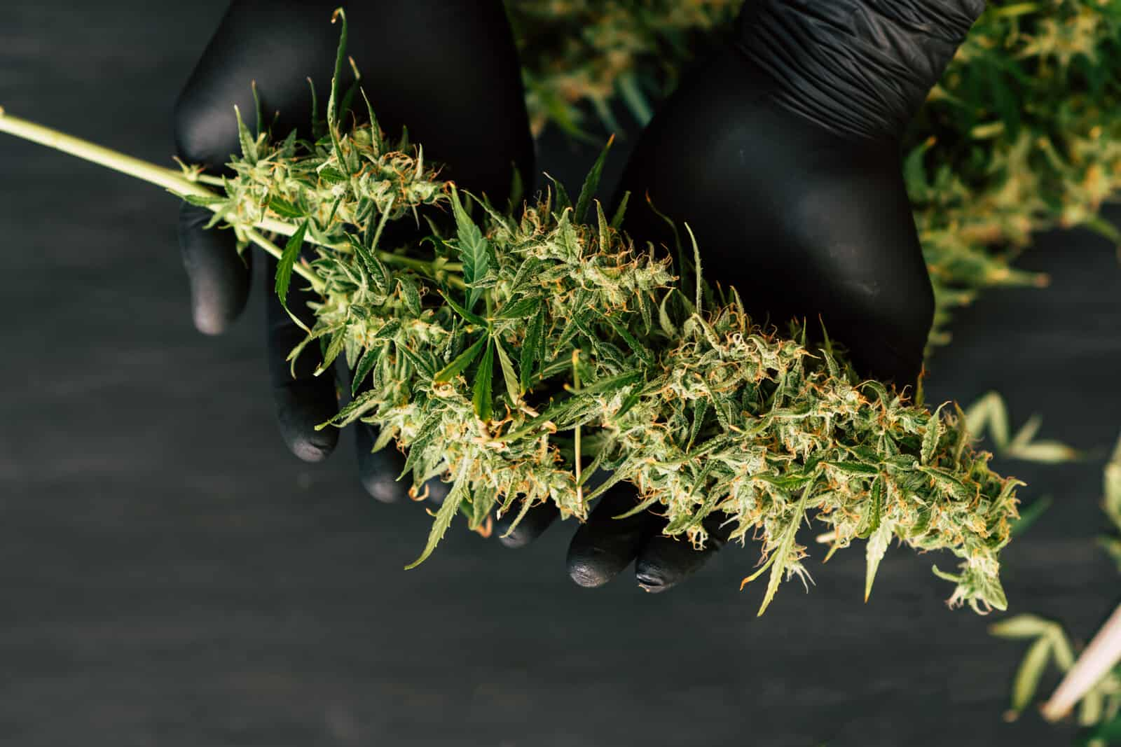 How to Dry Weed for Beginners
