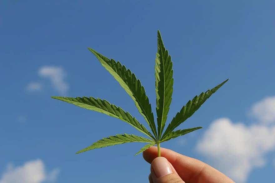 A Overview on Hemp Nutrition. Hand holding marijuana leaf.