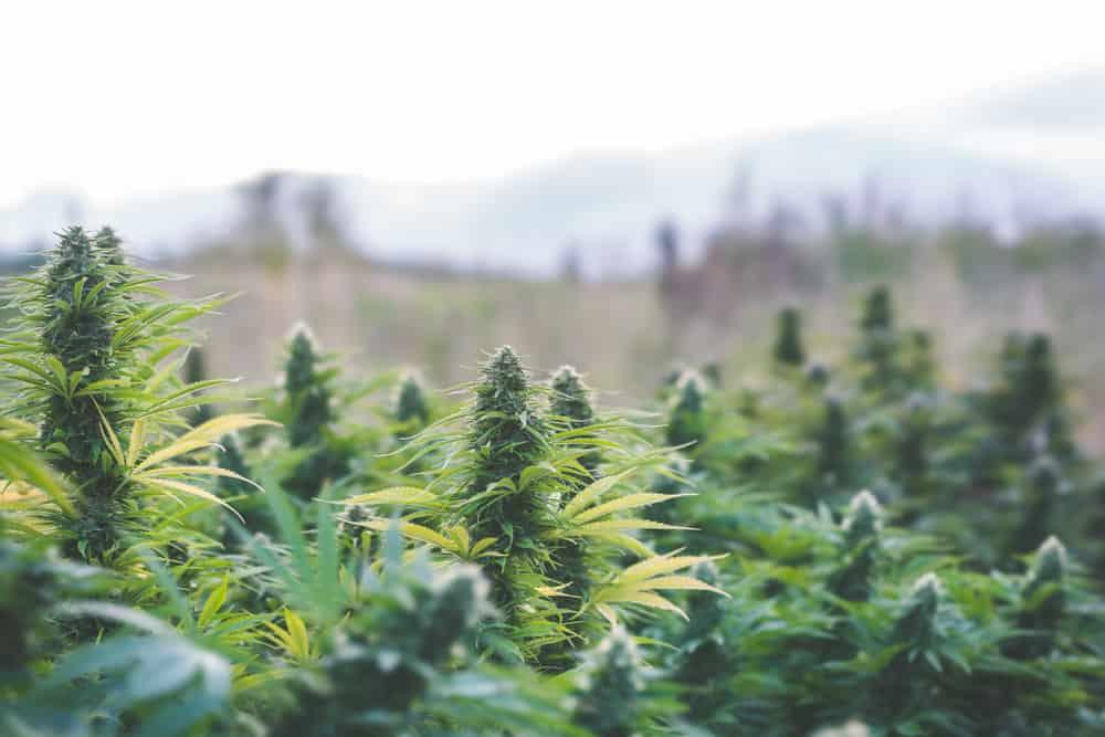 Growing marijuana outdoors. Field of cannabis plants.