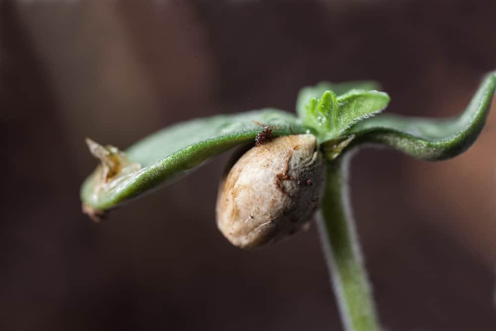 Ultimate Guide to Marijuana Seeds