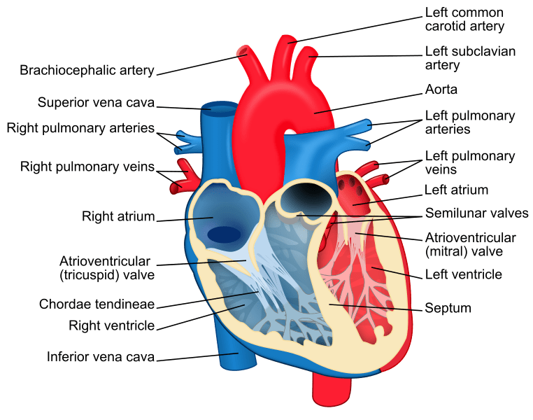Is Marijuana safe for the heart, diagram of the heart