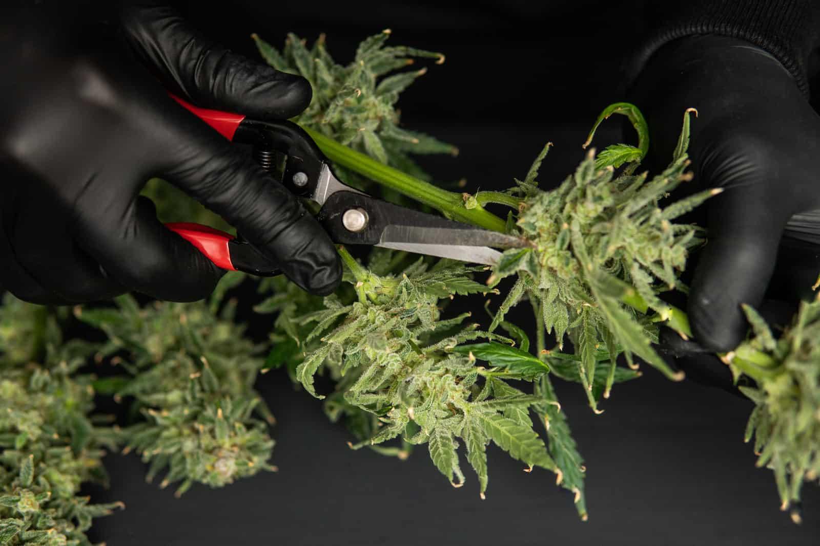 New Hampshire Cannabis Jobs and Cannabis Careers. Hands trimming a marijuana bud.