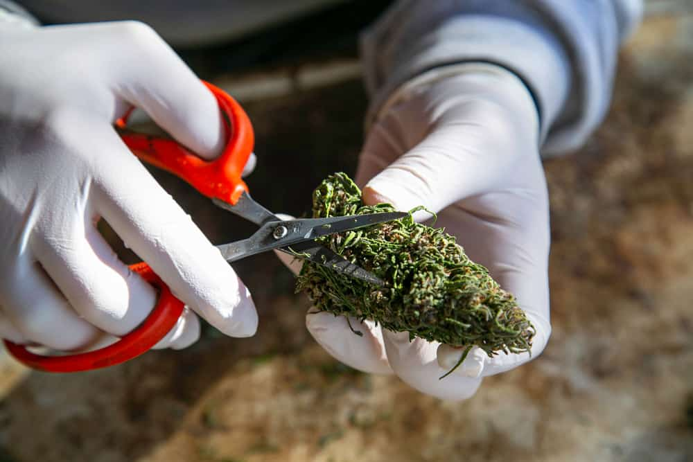 Arizona Marijuana Jobs and Marijuana Careers. Scissors cutting a weed bud.