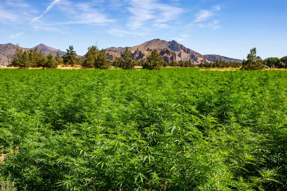 Oregon Cannabis Jobs and Cannabis Careers. Field of weed plants with mountains.