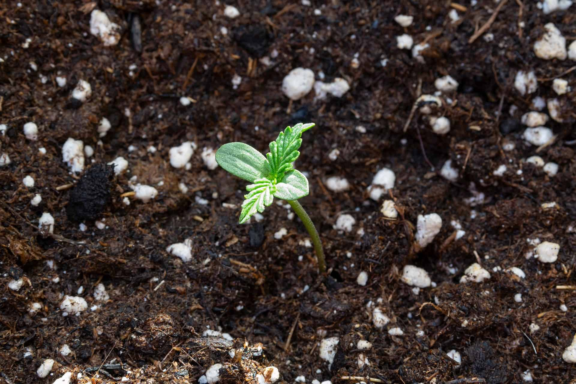 Cultivation and Maintenance Tips for Marijuana. Plant in soil.