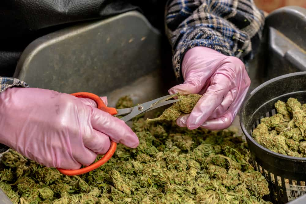 New York Weed Jobs and Marijuana Careers. Man trimming buds.