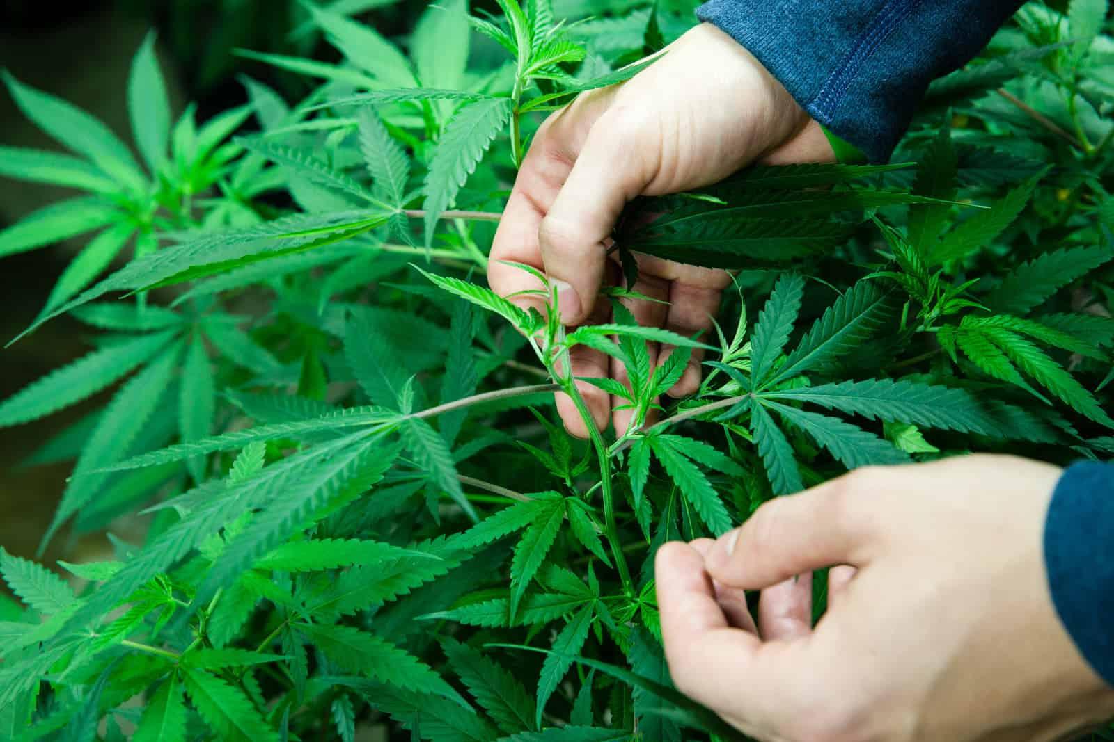 10 Best Cannabis Grow Books. Man looking at cannabis plants.