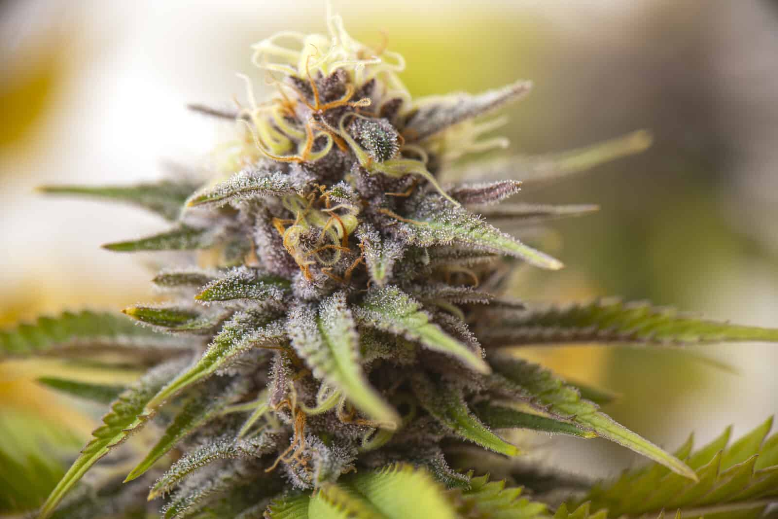 25 top cannabis strains of all time. Closeup of cannabis plant.