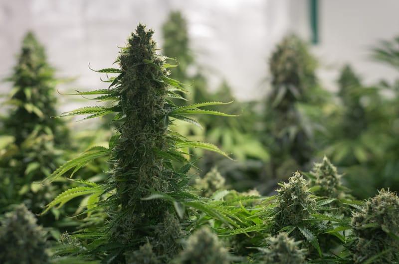 Runtz cannabis strain yield and flowering time