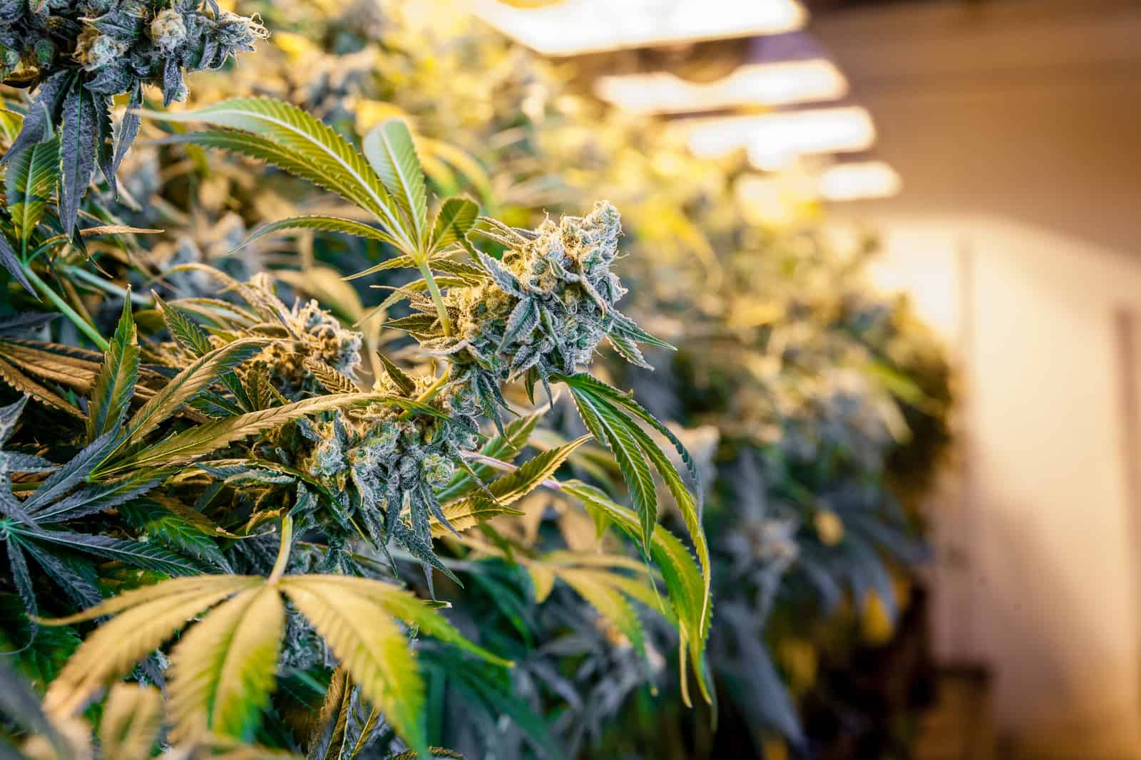 Top 5 Cannabis Grow Lights: Fluorescent, LED, and HID. Closeup of cannabis plants under lights.