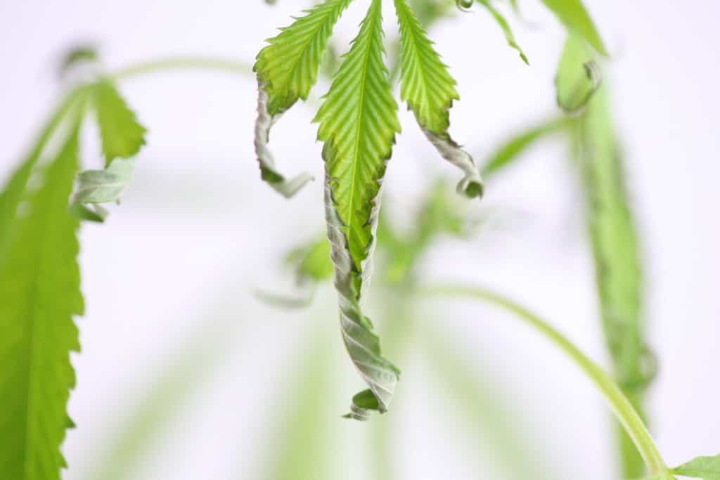 Common Marijuana Deficiencies