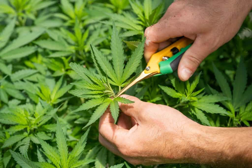 Growing Weed For Dummies.. Hands trimming a cannabis plant.