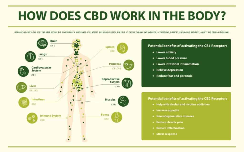 How does CBD work in the body. Body diagram.