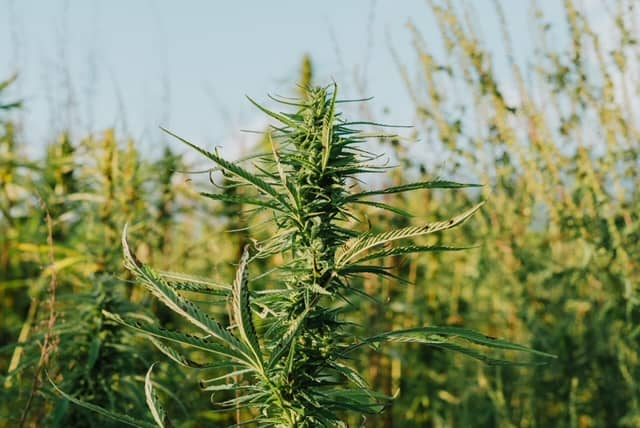 Cannabis growing outdoors in a field