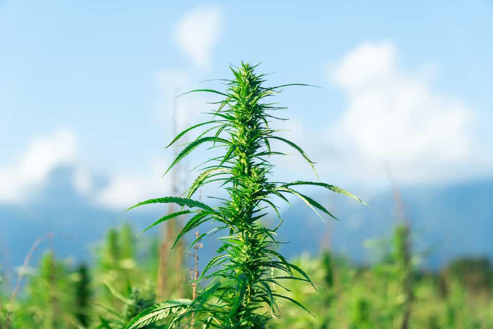 Stealth outdoor grow of marijuana by the mountains.